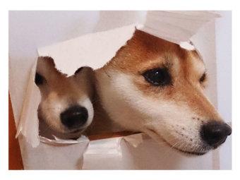 柴犬,いたずら
