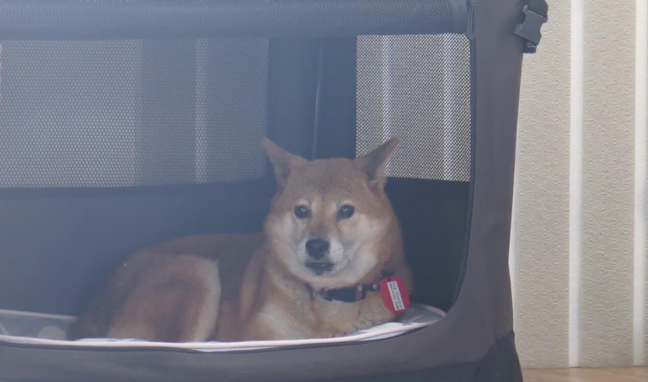 柴犬保護犬