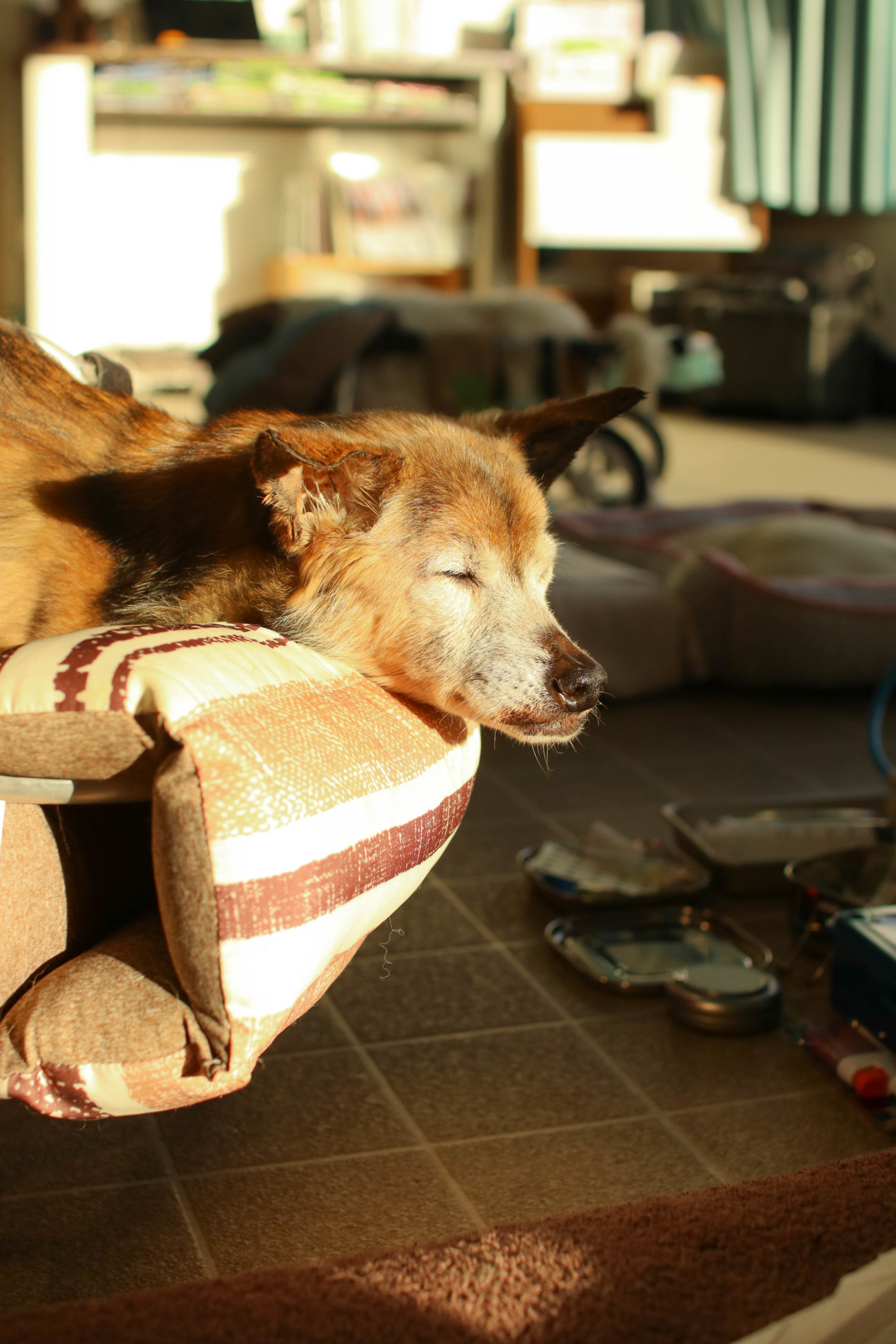 柴犬シニア,ワンコット