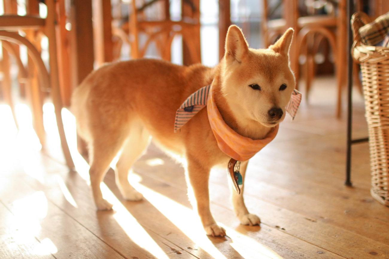 柴犬,カフェ,大磯,ルッコラ