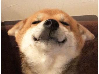 柴犬,ヒコーキ耳