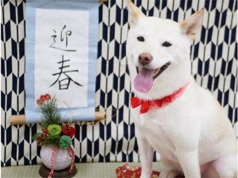 柴犬,お正月