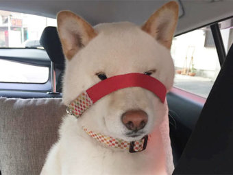 柴犬,カワイイ