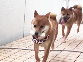 柴犬,鬼ごっこ