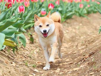 柴犬,テケテケ歩き