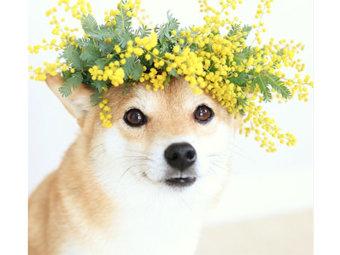 柴犬,帽子