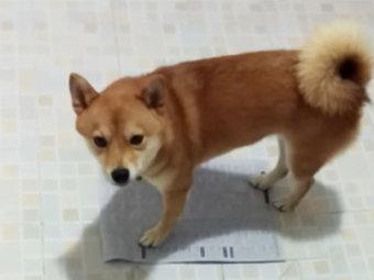 柴犬,トイレトレーニング