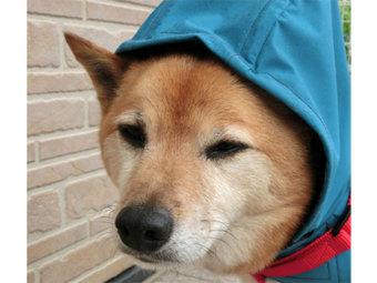 柴犬,レインウェア