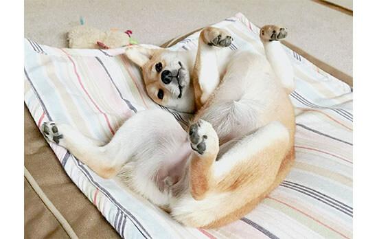 柴犬,ユニーク