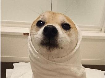 柴犬,アザラシ柴犬
