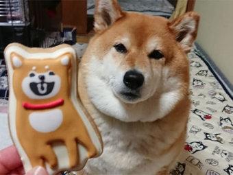 柴犬,クッキー