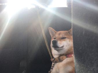 柴犬,神々しい