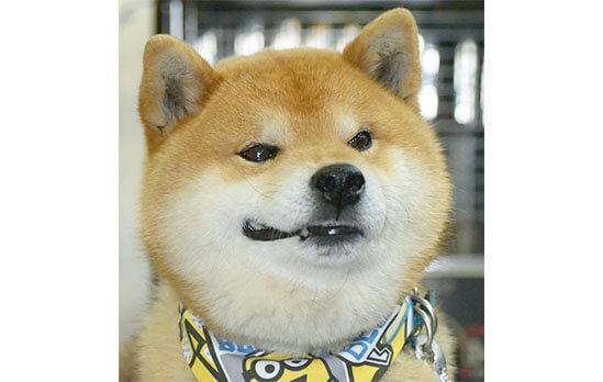 柴犬,ハッシュタグバトン