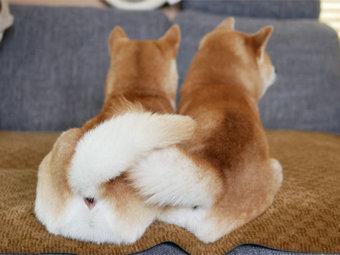 柴犬,尻尾