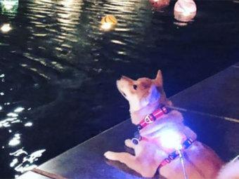柴犬,夜散歩