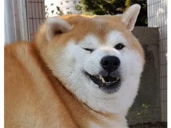 柴犬,ぽっちゃり