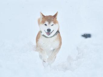 柴犬,雪遊び