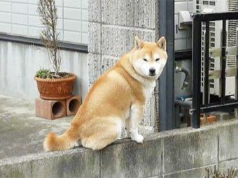 柴犬,高所好き