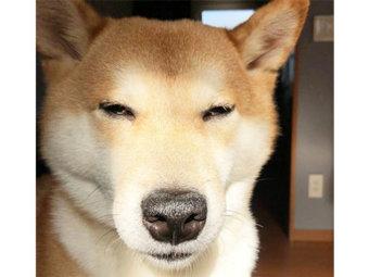 柴犬,変顔