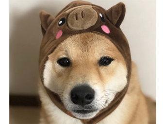 柴犬,感情