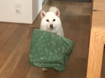 柴犬,お手伝い