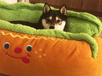 柴犬,ホットドッグ犬