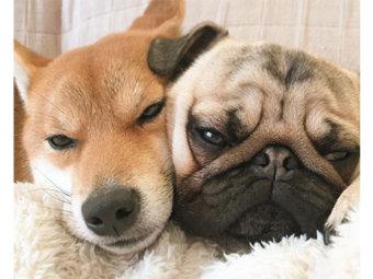 柴犬,多頭飼い