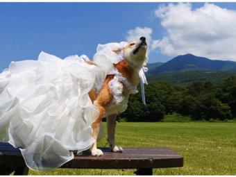 柴犬,ドレス