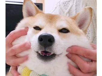 柴犬,マッサージ