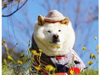 柴犬,くま