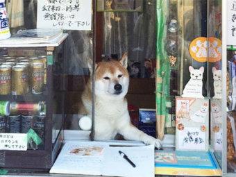 柴犬,看板犬