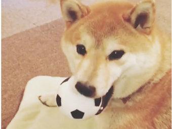 柴犬,おもちゃ