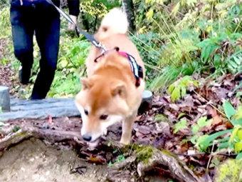 柴犬,登山