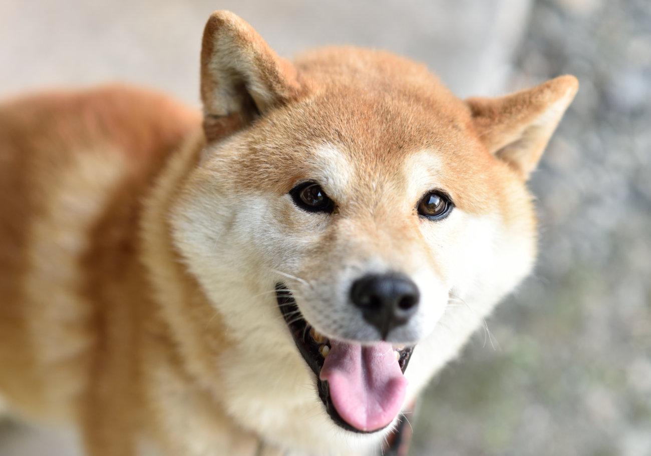 柴犬,保護犬