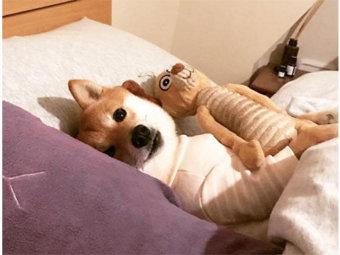 柴犬,癒し