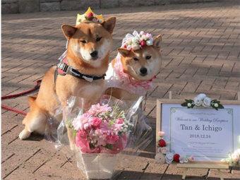 柴犬,結婚式