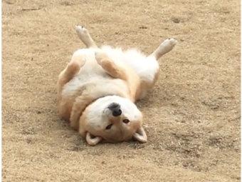 柴犬,かわいい