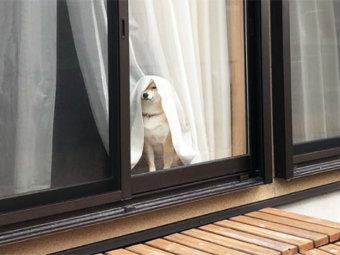 柴犬,クセ強め
