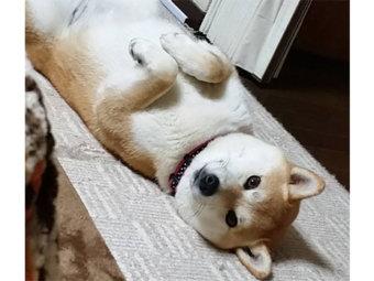柴犬,邪魔可愛い