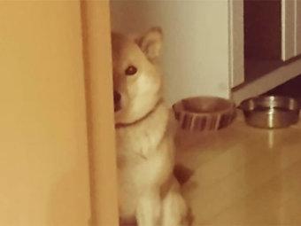 柴犬,家政婦は見た