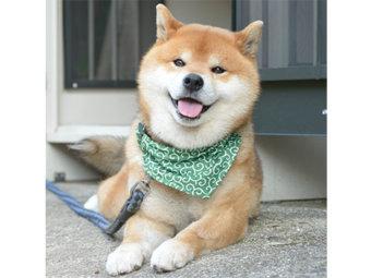 柴犬,唐草模様