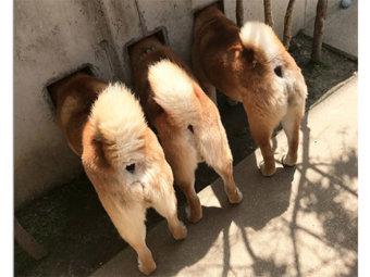 柴犬,三兄弟
