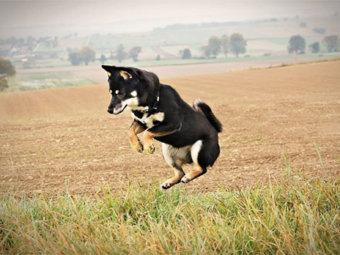 柴犬,大ジャンプ