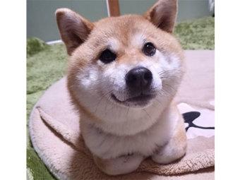 柴犬,香箱座り