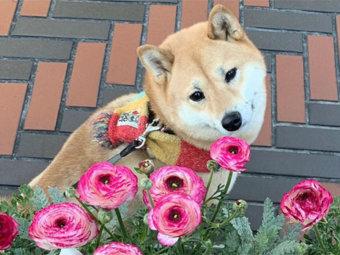 柴犬,オシャレ