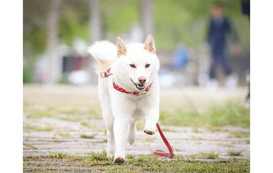 柴犬,白柴