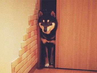 柴犬,隙間
