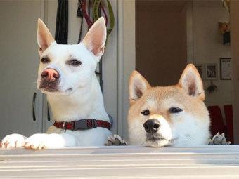 柴犬,姉妹