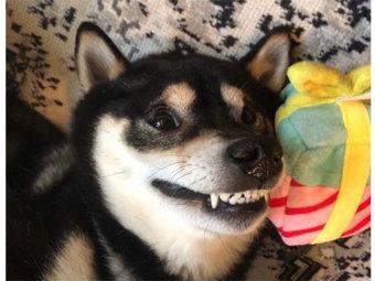 柴犬,つくり笑い