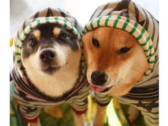 柴犬,双子コーデ